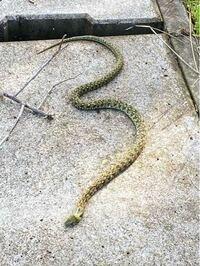 これはなんというヘビですか?