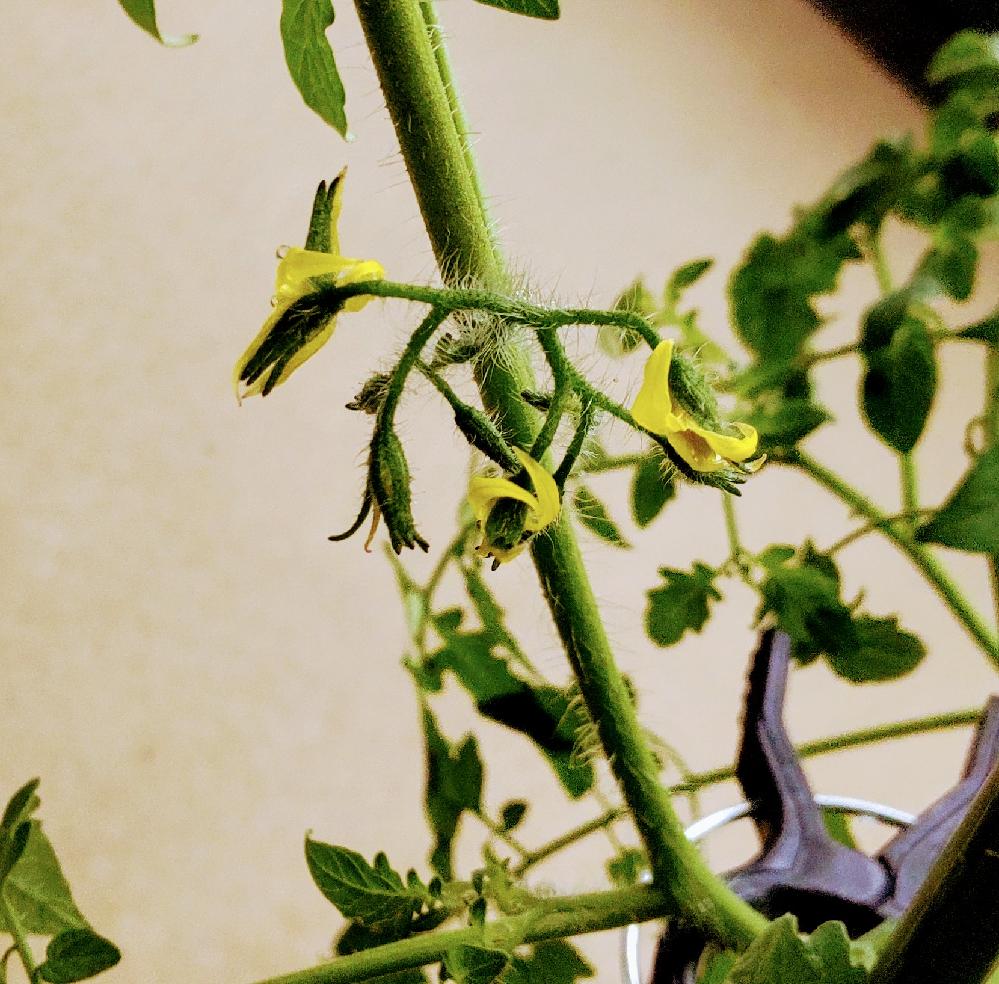 この房はトマトになりますか?花は咲いてもなかなか実にならず心配してます。