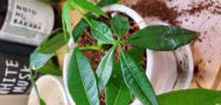 パキラを挿し木したやつを育ててるのですが大きくなると幹が茶色く太くなるんですか? また 1mほど育ちますか?