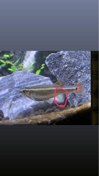 アカヒレを複数匹飼っている方、アカヒレの赤い丸で囲ったヒレが白いのですがこれは模様ですか?
