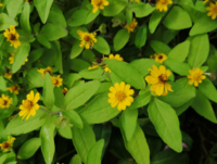 直径2cmあまりの黄色い花を付けた植物を見付けましたが、名前がわかりません。 ご存知の方がいらっしゃいましたらお教え下さい!