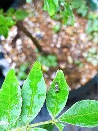 アゲハ幼虫飼育に詳しい方お願いします。今日自宅の朝倉山椒で雨の中アゲハの幼虫のチビちゃんを見つけてしまいました。山椒はまだ小さい木で半分軒下で半分の枝が外に出ている鉢植えです。 ガレージの奥なので鳥は来ないですがヤモリやハエトリクモは住んでいます。前回は室内で飼育しましたが飼育に失敗したらどうしようかと緊張しすぎて心臓に悪く、先日無事巣立ちほっとした矢先でしたので今回はお外で見守りたいのです...