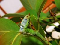 アオスジアゲハの幼虫です。 保護して4日位の幼虫なんですが 数時間前より上半身がのけぞり イヤイヤみたいに頭振ってます。 今迄保護して育てた個体に この様な行動するの初めて見ました。 他の数個も同じ葉を食べてるので 葉に問題が有るとも思えないんですが…… 原因分れば教えて頂けますか?