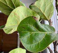 カシワバゴムノキの病気について、詳しい方教えてください。元々3年ほど前から同じ観葉植物を育てていましたが、去年の秋頃から急に葉が落ち始めて葉が一枚もなくなり、幹だけになってしまい、冬の間に幹もスカスカ になって枯れてしまいました。先月半ばに再度カシワバゴムノキを購入しましたが、同じ症状で葉が少しずつ落ち始めました。置き場所は窓際のカーテン越しの日が当たる場所で、水は土の表面が乾いてから与えて...