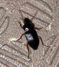 この昆虫の種名を教えてください