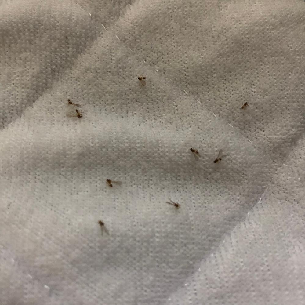 羽アリ大量発生 こちらの写真の羽アリの名前は分かりますでしょうか? 家に100匹以上湧くこと