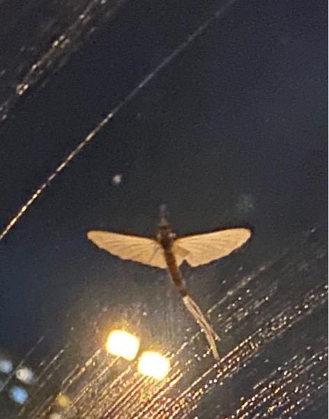 この虫の名前を教えてください 川でBBQをし花火をしてたら数十匹近寄ってきましたキモくて川の方にいったら何十倍もの数がおりそくにげてきました