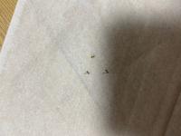 新築に引越して4ヶ月が経ちます。。  羽アリ?シロアリ?ですかね、 画像では小さいですがこんな虫が電球の周りや、床に死んで落ちています。 シロアリだとしたら大変な騒ぎなのですが、この虫の正体はなんでしょうか?? どなたか教えてください。。
