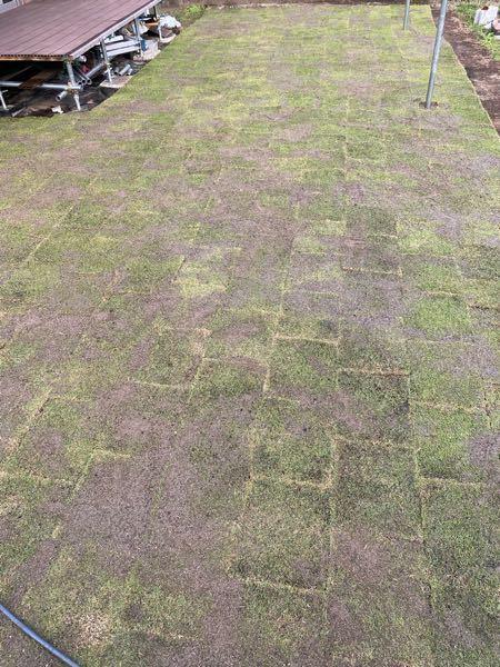 自宅の庭に芝生(TM9)を張ってみました。 目土に砂を使ったのですが、均等に撒けなくて苦労したのですが、こんな感じでも大丈夫でしょうか? 水やりは天気の良い日には朝晩2回あげてます。 まだ張ってから5日目です。 不安なのでアドバイスなど頂けたら嬉しいです。