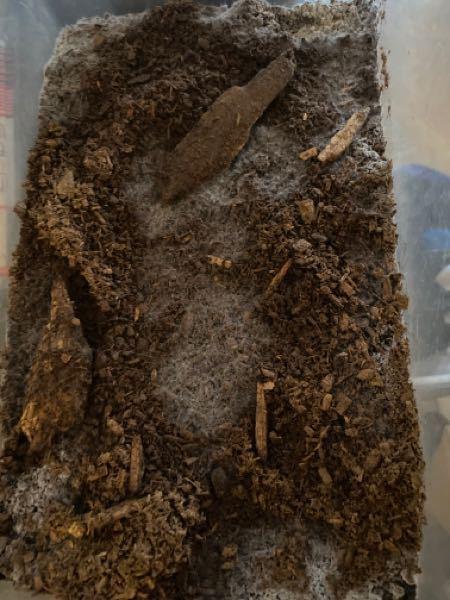 カブトムシマットにたくさん生えてきたのですがこれは放置しても良い菌類でしょうか?