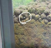 アクアリウムにこのような白い虫(?)が大量に発生していました。 エビ、魚への被害は全くなく、いつから発生していたのかはわかりませんが3ヶ月以上新しい生体、流木などは入れていないので発生元は不明です。 iPhoneのカメラではこれ以上細かい写真は撮れなかったのですが何という虫か分かりますでしょうか?