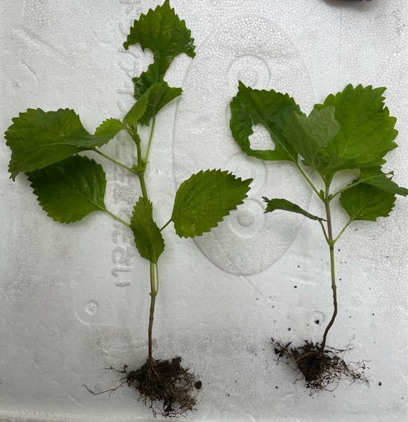これは、大葉でしょうか? 植えていないのに、ほったらかしの植木鉢や地面から生えてきました。 匂いを嗅いでみると、大葉の香りがします。さらに切り刻むと大葉の香りが広がります。 大葉なら食べたいです。