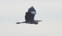この鳥はカワウですか?