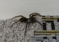 家にクモが表れたのですが、このクモの種類がわかります方はいらっしゃいますでしょうか?