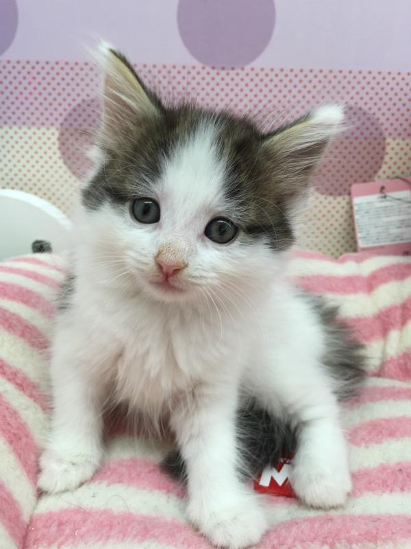 おはようございます ハチワレの仔猫は可愛いですか??