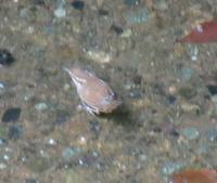 浅い水路に小さな小鳥が下りてきました、 名前を教えてください、 岐阜県米田白山で、 撮影20210913