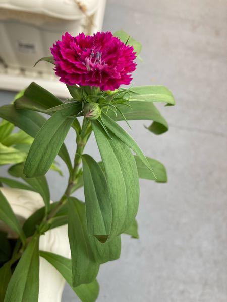 添付している写真の花ですが、名前をご教示下さい。 現在(9/13)の状態の写真です。春頃に種を蒔いて、やっと咲き始めました。 どうぞよろしくお願いします。