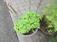 散歩の途中見かけた鉢に入った花後?(植物)の名前を教えて下さい。