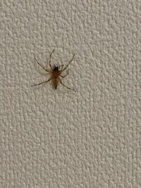 蜘蛛 に詳しい方 この蜘蛛、なに蜘蛛かわかりませんか? 只今家にいつもと違う蜘蛛がでました。 蜘蛛は逃さない方がいいと、いつもは放置なのですが、いつもより少し大きい(一円玉くらい)ので逃すか悩んでいます...
