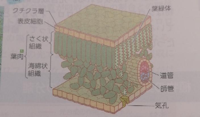 この中で葉緑体を持っている細胞を教えてください。