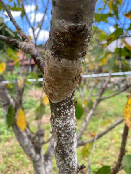 さくらんぼの木に病気が付きましたが、何の病気でどのような農薬で駆除をすればいいかお教え願います。