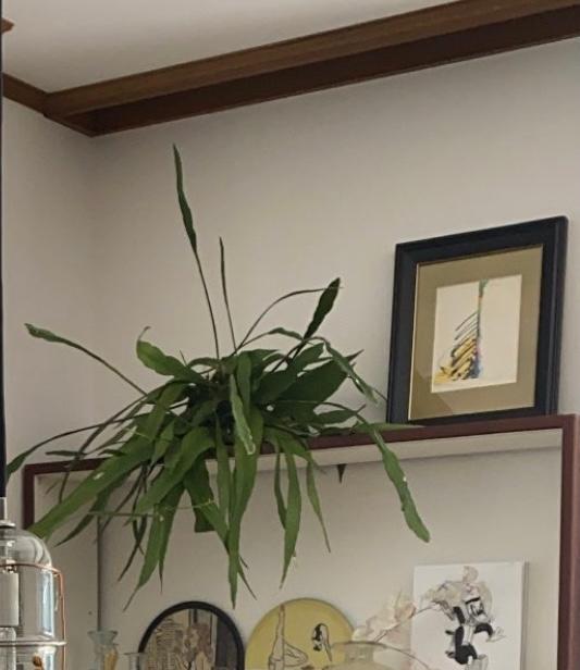 植物に詳しい方、お知恵を貸してください。 こちらの画像の観葉植物は何という種類でしょうか?