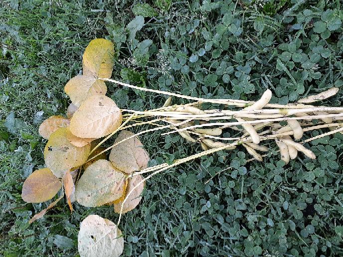 枝豆の家庭菜園でこれで良いのかわからないことがあり、質問させていただきます。 下の画像の状態は収穫適期を過ぎたような感じではあるのですが、「ちょうど来週収穫だな」と思ってからの一週間で、一気にこうなりました。 たしかに下葉が若干黄色くなってきたのですが、大丈夫だろうと思っていました。 これは、収穫適期のタイミングを見誤ったためでしょうか。あるいは何か不足していたのでしょうか。それとも病気でしょうか?。 枝豆の収穫直前は何に気をつければ良いか、どうかアドバイスをお願いします。 栽培地は北海道の札幌周辺。ただ、今年は暑かったので本州以南と条件はあまり変わらないような感じがします。 播種前には牛糞堆肥を上層にまぜ、深いところに埋めることはしていませんでした。 過密栽培な感じはありました。株間30cmで二本立て。 開花から結実までできるだけ土を乾燥させないよう灌水し、同時期、リン酸の多い化成肥料の花咲かりんさんを少量追肥しました。ただ、土寄せと中耕はできませんでした。 株を引き抜くと、根の根粒菌の粒は少なめだった感じがしました。