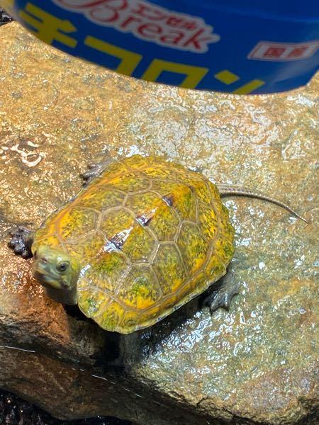 飼っているイシガメなんですけど、かなり黄色が強く出ていると思っているのですがどうなんでしょうか? 甲長は7cmくらいの野生個体です。