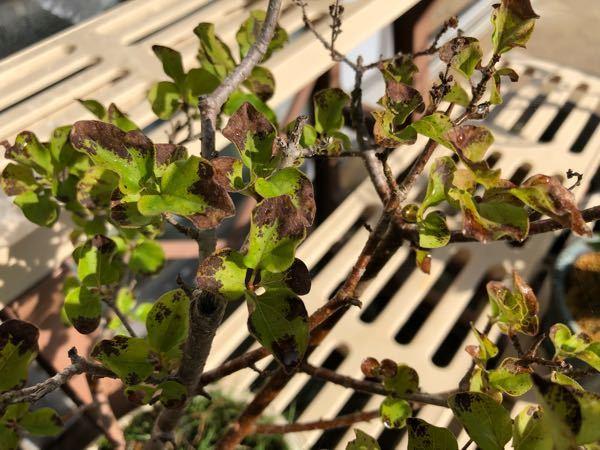 ライラックの盆栽を育てているのですが、雨の日が続いて水やりの心配がないと観察を怠っていましたら、葉の一部が茶色になりほぼ全ての葉まで広がってしまいました。どのように対処すれば良いでしょうかご教示願いま す。