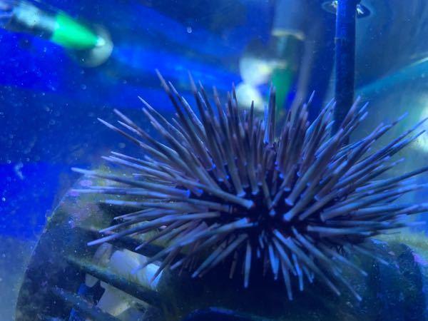 こちらのウニの種類がわかりません。。 海洋生物に詳しい方、ぜひ教えてください!