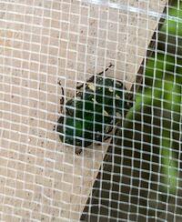 なんと言う種名の昆虫でしょうか 体長1cmくらいと小さかったです。