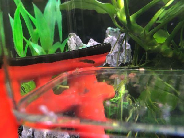 この稚魚は、なんの稚魚でしょうか? 水槽にはモーリー2匹ソードテール3匹ネオンテトラ5匹がいます。教えてください。