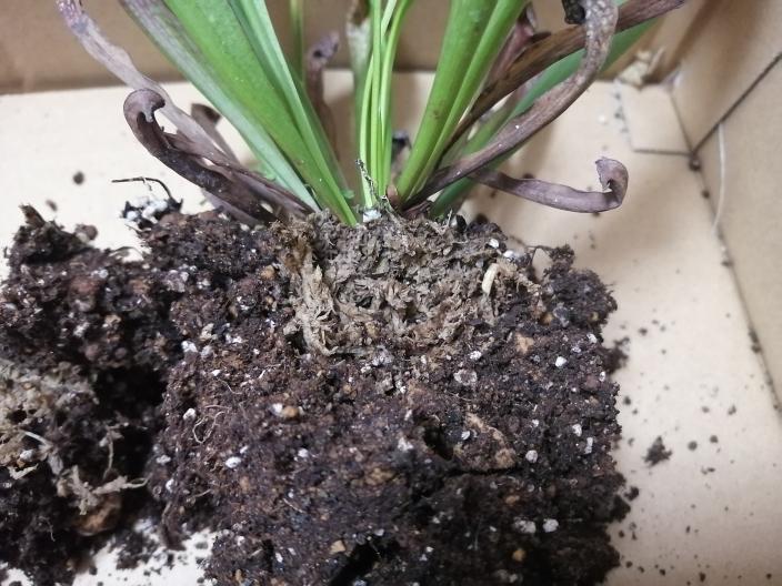 先程のサラセニアですが、これは根腐れでわなく水苔に根が包んである状態で植え付けされているということですか?