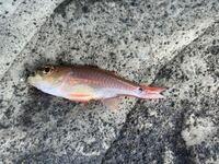これは何という魚でしょうか? 図鑑で見ても分かりませんでした。  真鯛の稚魚?