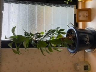質問です この植物の名前を教えてください 一昨年の正月に買って、水をあげていくうちにどんどん大きくなってここまでなりました! 名前がわかれば育て方もわかるので是非教えてください! 上の棚にもう着...