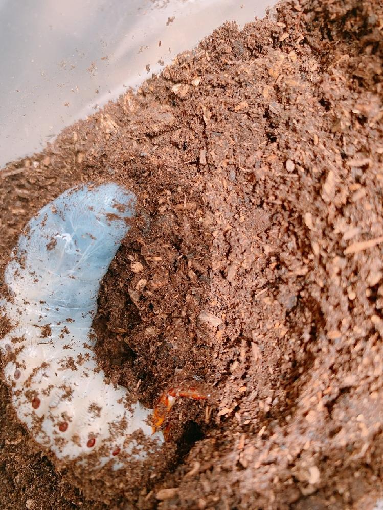 ヘラクレスオオカブトの幼虫を育てているのですが、ネットなどで調べてみましたが、よくわからないので教えてください。 オスかメスかわかりますか? これは終令幼虫なのでしょうか? いつ頃蛹?になるのでしょうか? よろしくお願いいたします。