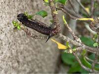 これはなんの幼虫ですか? 庭にいました。最初は毛虫かと思ったのですが、毛がありませんね。