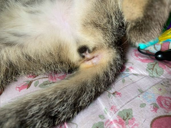 生後3ヶ月くらいと見られる猫です。 この子はオスですか?メスですか?