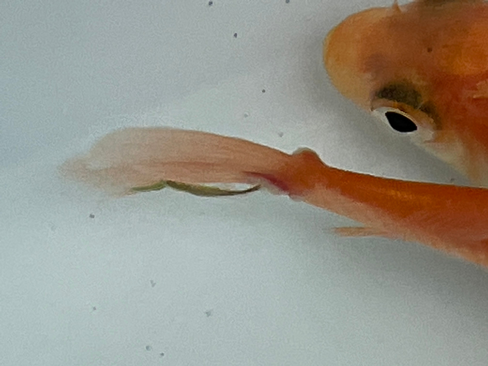買ってきた金魚なんですが、尻尾に白い点みたいなのが付いていたので0.5%塩水と薬液を混ぜたのにに入れているのですが、尻尾に長い紐みたいのが付いています。 一体何なんでしょうか。 わかる方教えて下さい。 金魚自体は元気です。