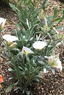 春の花壇で見かけた花の名前が知りたいです。肝心の花が光の加減でうまく写っていなくて申し訳ないですが、わかったら教えてください。撮影日は5/2です。