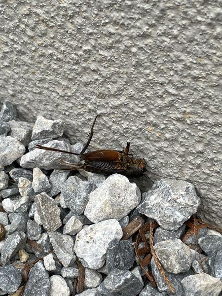この虫は、コオロギかゴキブリどちらか分かる方いますか?