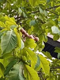 うちの近くにある木の実です。 栗の様な実?みたいのが落ちていました。 見た目は栗のようですがトゲがありません。 詳しい方、これが何か教えて下さい! この実?は栗のように食べれますか?
