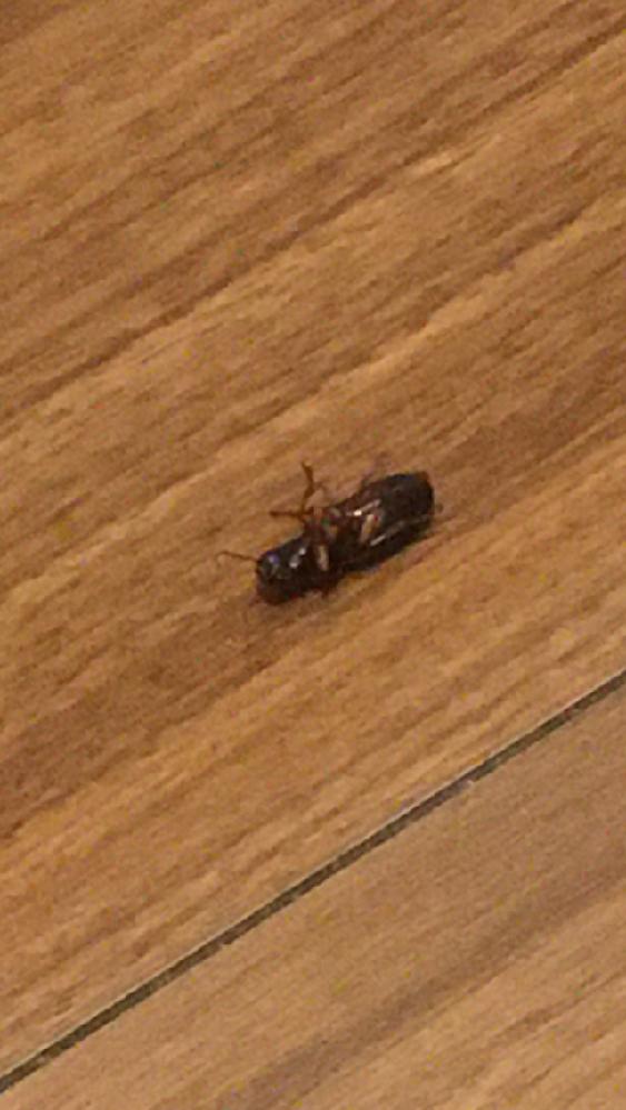 この虫はなんという虫ですか? 殺虫剤を噴射したあとなので少しテカテカしているかもしれません。 仰向けの状態です。 ゴキブリの幼虫なのか他の虫なのか判断がつきません、詳しい方お願いします。 死んだふりなのかたまに足を動かします…ゴキブリなんでしょうか