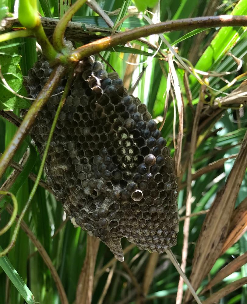 蜂の種類を教えて下さい。 草むらに巣( 写真 )をつくる体長5ミリ程のハチに刺されました。なんというハチでしょうか。地域は沖縄県です。