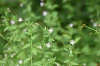 野草なのか、山の散歩道に咲いていました 5ミリくらいの小さな花です きつねのまご? ではないようです