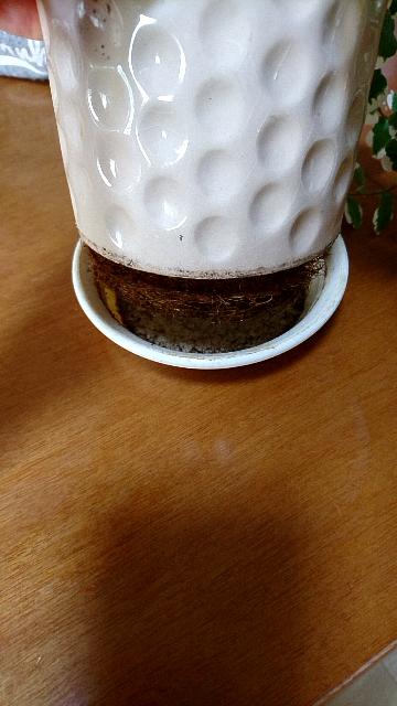 室内にプミラがあるんですが、鉢から根が飛び出し、皿の中が根でいっぱいになってしまいました。どうしたものか、どなたかアドバイスをお願いします!!(写真あります)