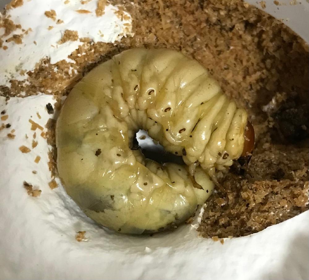 オオクワガタの蛹化について 菌糸の劣化により8月7日に菌糸ビンの交換を行なった際に写真のような状態にまで行っておりました。 私は初めて飼育しますので体色が黄色くなってからどれくらいで蛹化するのか分からないのですが。 経験上、今日現在どんな状態かわかる範囲で教えていただけますと今後の管理に役立つのですが、教えて頂けないでしょうか。 補足情報 2020年9月孵化 菌糸ビン1100→1400→1400→1400 室内常温保存