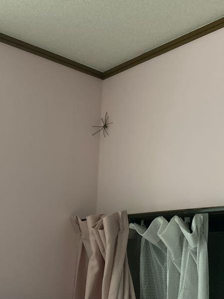 めちゃくちゃでかい蜘蛛が家にいます こいつは害ありますか?名前は? どうしたら追い出せますか?
