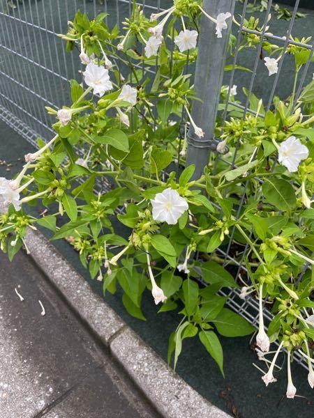 この花の名前を教えて下さい。 線路沿いに咲いていた画像の花の名前を知りたいです。 白の他に濃いピンクも咲いていました。 花のサイズは2-3cmほどの小ぶりです。 日中はそれほどでもないですが、夜に近くを通るととても甘くて良い匂いがします。 調べたところ、夕顔や夜顔とは違う気がしています。 また、こちらの種を拾ったのですが、植木鉢に植えて水をあげたら、どのぐらいの期間で花が咲くのでしょうか。 どうぞよろしくお願いします。