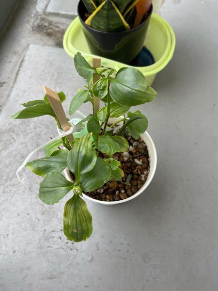 何の植物か分かりますか? サンスベリアをベランダで育てていたら どっからか飛んできた種が発芽しました。 かなりのスピードで成長して 鉢植えのサンスベリアのスペース無くすくらいの勢いで根っこが伸びまくっています。 変な植物なら処分したいのですが 分からないので 分かる方 教えてください。 よろしくお願いいたします。